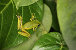 Litoria tree frog in New Guinea [west-papua_5797]