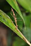Spiny stick insect [west-papua_5800]