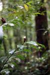White flower [west-papua_5836]