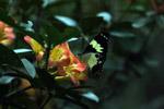 Butterfly feeding on flowers [west-papua_5876]