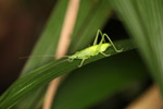 Green katydid [west-papua_5907]