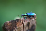 Metallic blue, green, and orange beetle (Catascopus sp of the Carabidae family) [west-papua_5944]