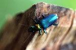 Metallic blue, green, and orange beetle (Catascopus sp of the Carabidae family) [west-papua_5954]