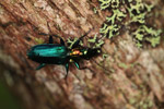 Metallic blue, green, and orange beetle (Catascopus sp of the Carabidae family) [west-papua_5955]