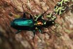 Metallic blue, green, and orange beetle (Catascopus sp of the Carabidae family) [west-papua_5956]