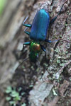 Metallic blue, green, and orange beetle (Catascopus sp of the Carabidae family) [west-papua_5961]