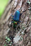Metallic blue, green, and orange beetle (Catascopus sp of the Carabidae family) [west-papua_5962]