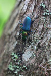 Metallic blue, green, and orange beetle (Catascopus sp of the Carabidae family) [west-papua_5964]