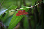 Bright red-orange moth [west-papua_5984]
