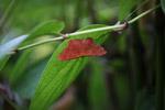 Bright red-orange moth [west-papua_5984]
