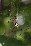 Orb spider with eggs