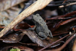 Small gray toad in New Guinea