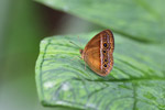 Stunning orange butterfly with eyespots [west-papua_6081]