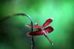 Red grasshawk dragonfly [west-papua_6089]