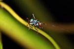 Turquoise blue katydid larva [west-papua_6125]