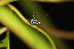 Turquoise blue katydid larva [west-papua_6126]