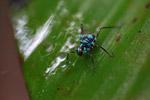 Turquoise blue katydid larva [west-papua_6131]
