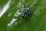Turquoise blue katydid larva [west-papua_6132]