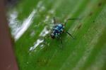 Turquoise blue katydid larva [west-papua_6138]