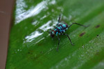 Turquoise blue katydid larva [west-papua_6141]