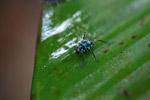 Turquoise blue katydid larva [west-papua_6144]