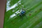 Turquoise blue katydid larva [west-papua_6147]