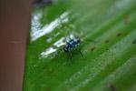 Turquoise blue katydid larva [west-papua_6151]