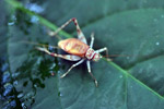 Orange cricket [west-papua_6158]