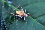 Orange cricket [west-papua_6158]