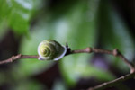 Green snail [west-papua_6171]