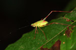 Green katydid with red legs