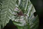 Spider [west-papua_6180]