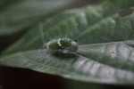 Green caterpillar with white hair and yellow spots [west-papua_6211]