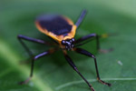 Black bug with an orange fringe