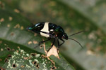 Multicolored metallic beetle with a broad white band [west-papua_6224]