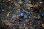 Blue fruit [west-papua_6226]