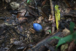 Blue fruit [west-papua_6227]