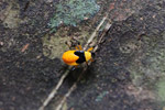 Halloween bug (black and orange)