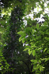 Sunlit leaves in the New Guinea rainforest