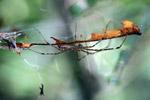 Spider [west-papua_6280]