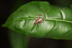 Orange and brown cricket [west-papua_6300]