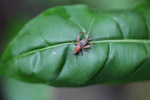 Orange and brown cricket