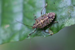 Shield bug [west-papua_6309]
