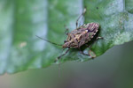 Shield bug [west-papua_6311]