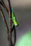Green grasshopper with turquoise legs [west-papua_6313]