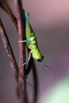Green grasshopper with turquoise legs [west-papua_6314]