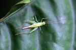 Green grasshopper [west-papua_6327]