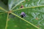 Jungle snail