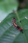 Black caterpillar with neon yellow and red markings on its back