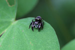 Jumping spider [west-papua_6392]